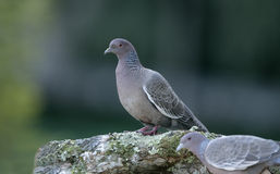 Picazuro pigeon,  Columba picazuro Royalty Free Stock Photography