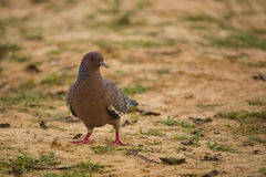 Picazuro Pigeon Looking over Shoulder Stock Photography