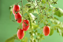 Piccadilly Tomato Plant Royalty Free Stock Photography
