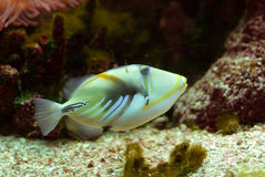 Piccaso Trigger Fish. A colorful marine fish called the Piccaso Trigger Royalty Free Stock Photo
