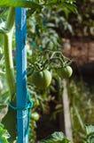 Picchettamento dei pomodori verdi Immagine Stock