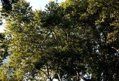 Picchi di luce solare attraverso un albero in Central Park Fotografia Stock
