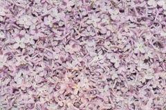 Picchiettio di fioritura dei fiori lilla fotografia stock