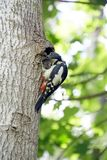 Picchio al suo nido dopo l'alimentazione dei pulcini Fotografia Stock Libera da Diritti