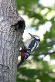Picchio al suo nido dopo l'alimentazione dei pulcini Fotografia Stock