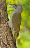 Picchio cenerino (canus del Picus) fotografie stock