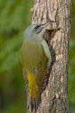 Picchio cenerino (canus del Picus) fotografie stock libere da diritti