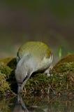 Picchio cenerino (canus del Picus) fotografia stock