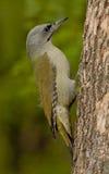 Picchio cenerino (canus del Picus) immagini stock libere da diritti