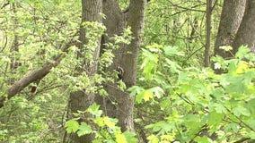 Picchio che si appollaia su un ramo e che cerca gli insetti su un albero nella foresta della montagna video d archivio