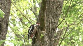 Picchio che si appollaia su un ramo e che cerca gli insetti su un albero nella foresta della montagna stock footage