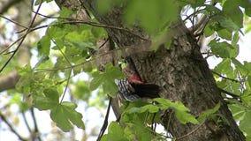 Picchio che si appollaia su un ramo e che cerca gli insetti su un albero nella foresta della montagna archivi video
