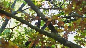 Picchio che si siede in un albero stock footage
