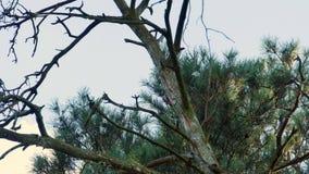 Picchio con le piume variopinte che si siedono su una foresta 4k dell'albero stock footage