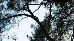 Picchio con le piume variopinte che si siedono su una foresta 4k dell'albero video d archivio
