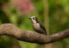 Picchio in Costa Rica Immagine Stock Libera da Diritti