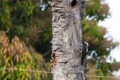 Picchio Cremisi-crestato femminile che vocalizza sull'albero morto Immagine Stock