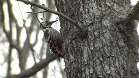 Picchio dal dorso bianco che mangia gli insetti su un albero forestale stock footage