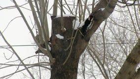 Picchio dal petto rosso che scala l'albero e che cerca alimento estrazione caccia Inverno stock footage