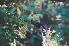 picchio dalla testa grigia che si siede su un ceppo di albero fotografie stock libere da diritti