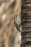 Picchio del pigmeo di Sunda immagine stock