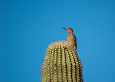 Picchio di Gila che si appollaia su un cactus Fotografia Stock