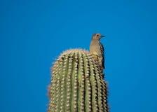 Picchio di Gila che si appollaia su un cactus Immagini Stock Libere da Diritti