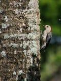 Picchio gonfiato rosso sul tronco di albero Fotografia Stock