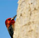 Picchio intestato rosso Fotografie Stock