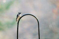Picchio lanuginoso Fotografia Stock Libera da Diritti