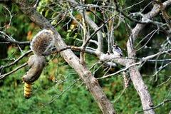 Picchio lanuginoso del amd di Gray Squirrel che si alimenta in autunno immagine stock libera da diritti