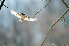Picchio lanuginoso durante il volo Immagini Stock Libere da Diritti