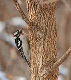 Picchio lanuginoso maschio, pubescens del Picoides fotografie stock libere da diritti