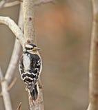 Picchio lanuginoso (pubescens del Picoides) fotografia stock libera da diritti