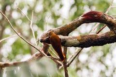 Picchio nel Amazon Immagine Stock Libera da Diritti
