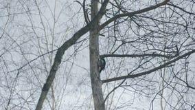 Picchio nella foresta di inverno, Russia stock footage