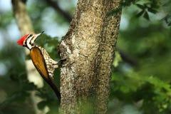 Picchio nella foresta Malesia della natura Fotografie Stock Libere da Diritti