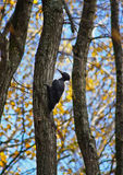 Picchio nero. Fotografia Stock