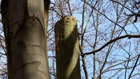 Picchio nero in foro in foresta olandese stock footage