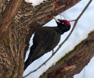 Picchio nero (martius di Dryocopus) Fotografie Stock Libere da Diritti