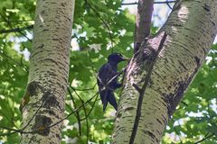 Picchio nero su un albero nella foresta fotografia stock