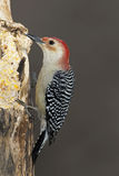 Picchio Rosso-gonfiato maschio (carolinus del Melanerpes) Fotografia Stock
