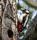 Picchio rosso maggiore maschio all'entrata del nido immagini stock