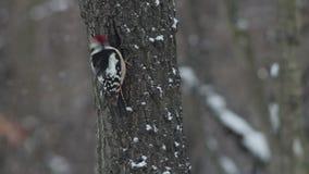 Picchio rosso mezzano nella foresta della montagna di inverno archivi video