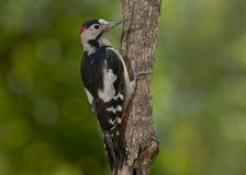 Picchio siriano (syriacus di Dendrocopos) fotografie stock