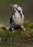 Picchio siriano (syriacus di Dendrocopos) fotografia stock