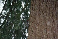 Picchio su un albero dell'abete di douglas Immagini Stock