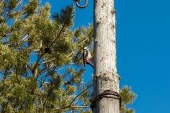 Picchio su una posta di legno, battente il suo becco fotografia stock