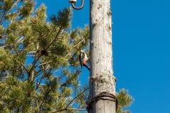 Picchio su una posta di legno, battente il suo becco fotografia stock libera da diritti