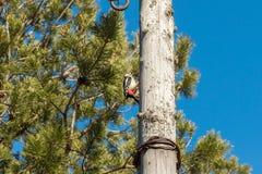 Picchio su una posta di legno, battente il suo becco fotografie stock libere da diritti
